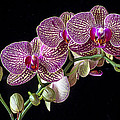 Gorgeous Orchids by Garry Gay