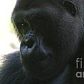 Gorilla-10 by Gary Gingrich Galleries