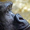 Gorilla Contemplating by Charlene Gauld