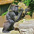 Gorilla Eats by SC Heffner