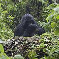 Gorilla In Our Midst by Paul Weaver