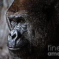 Gorilla In Thought by Karl Greeson
