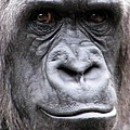Gorilla - Jackie by Pamela Critchlow