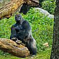 Gorilla by Jonny D