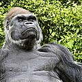 Gorilla Look by Alice Gipson
