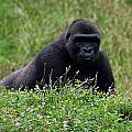 Gorilla On The Hunt by Kathleen Odenthal