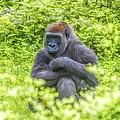 Gorilla Resting by Alice Gipson