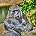 Gorilla by SC Heffner