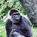 Gorilla by Sharon Meyer