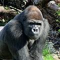 Gorilla135 by Gary Gingrich Galleries