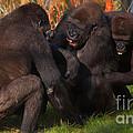 Gorillas Having Fun Together  by Nick  Biemans