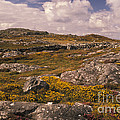 Gorse And Heather by Ron Sanford
