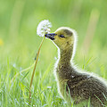 Gosling With Dandelion by Mircea Costina Photography