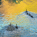 Goslings Morning Swim by Robert Bales