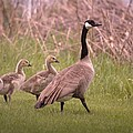 Goslings On A Walk by Jeff Swan