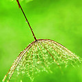 Gossamer Umbrellas by Susie Peek