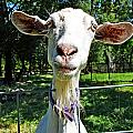 Got Your Goat by Holly Blunkall