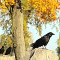 Three Ravens On A Gothic Graveyard Day by Gothicrow Images