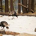 Gould's Wild Turkey by Donna Greene