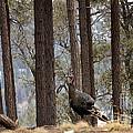 Gould's Wild Turkey IIi by Donna Greene