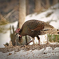 Gould's Wild Turkey Vix by Donna Greene
