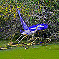 Gr8 Heron Flight by Joseph Coulombe
