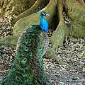 Graceful Peacock by Sabrina L Ryan