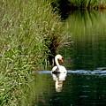 Graceful Swan by Lizbeth Bostrom