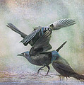Grackle Dance by Susan Capuano