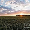 Grain Field by Brothers Beerens