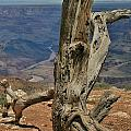 Grand Canyon And Dead Tree 2  by Mo Barton