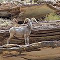Grand Canyon Big Horn Sheep by Alan Toepfer