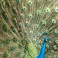 Grand Peacock by Sabrina L Ryan