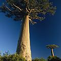 Grandidiers Baobab Trees Madagascar by Konrad Wothe