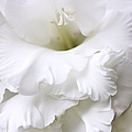 Grandiose White Gladiola Flower by Jennie Marie Schell