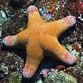 Granulated Seastar by Science Photo Library