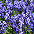 Grape Hyacinth At Thanksgiving Point - 1 by Ely Arsha