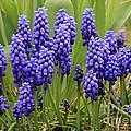 Grape Hyacinth by Carol Groenen