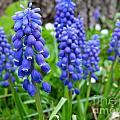 Grape Hyacinth  by Christine Stack