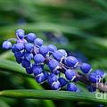 Grape Hyacinth by Kitrina Arbuckle