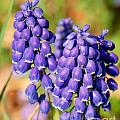 Grape Hyacinth by Mark Dodd