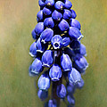 Grape Hyacinth by Nikolyn McDonald