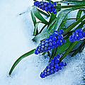 Grape Hyacinths In Snow by Julie Magers Soulen