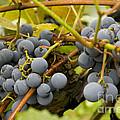 Grape Work by Thomas Levine
