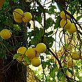 Grapefruits by Jouko Lehto