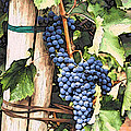 Grapes 1 by Jacklyn Duryea Fraizer