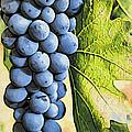 Grapes 2 by Jacklyn Duryea Fraizer
