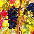 Grapes And Autumn Leaves, Napa California by Tirza Roring