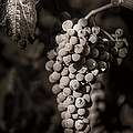 Grapes In Grey 4 by Clint Brewer