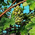 Grapes Of Wachau by Elvis Vaughn